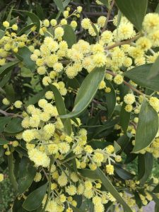 Nature as inspiration - Wattle in bloom